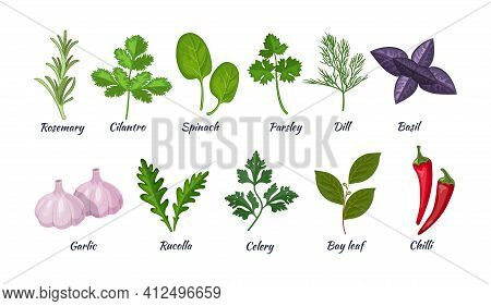 Culinary Herbs Set. Natural Culinary Herbs And Spices For Cooking, Eating, Food. Rosemary, Cilantro,