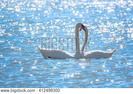 The Couple Of Swans With Their Necks Form A Heart. Mating Games Of A Pair Of White Swans. Swans Swim