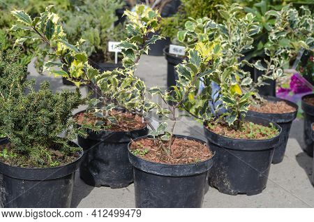 Many Thujas Tree Stand In Pots For Planting.  Seedlings Of Various Conifers And Holly With Price Tag