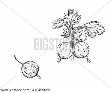 Hand Drawn Sketch Black And White Set Of Gooseberry Branch, Leaf And Berry. Vector Illustration. Dew
