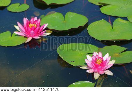 Pair Of Nymphaea Tubtim Siam Or Ellisiana Hardy Waterlilies Blooming In A Pond