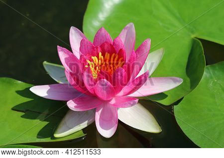 Closeup Of A Gorgeous Nymphaea Tubtim Siam Or Ellisiana Hardy Waterlily Blooming In Sunlight
