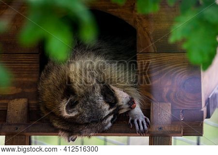 Raccoon Resting And Sleeping In Small Wooden House.