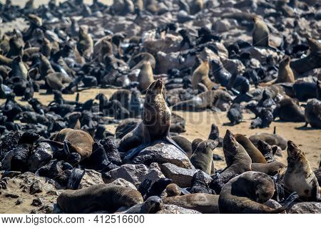 Seal Colony Near Cape Cross In Namibia
