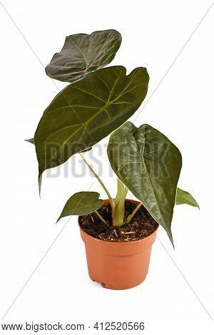Exotic Houseplant With Botanic Name Alocasia Wentii Houseplant In Flower Pot Isolated On White Backg