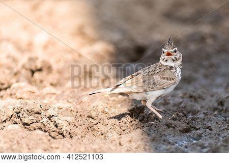 Bird Common Crested Lark Galerida Cristata With An Open Beak.