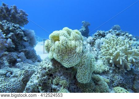 Colorful Coral Reef At The Bottom Of Tropical Sea, Sarcophyton Coral Known As Leather Coral;  Underw