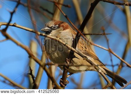 House sparrows can be found from the centre of cities to the farmland of the countryside, they feed and breed near to people. It is a species vanishing from the centre of many cities, but is not uncommon in most towns and villages. common siskin or just s
