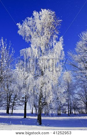 Birch Trees,bushes,twigs,in The White Snow,covered With Hoar Frost,on The Background Of The Blue Sky
