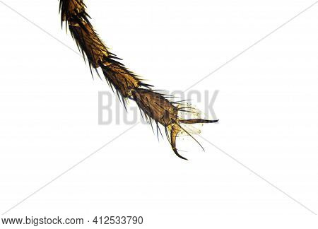Housefly Leg With Bristles And Claws Under The Light Microscope, Magnification 100 Times