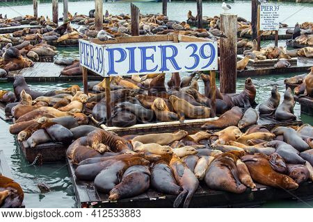 Pier 39 in San Francisco - Fisherman's Wharf on the San Francisco Bay. Hundreds of sea lions lie on wooden platforms, pose, sleep, growl and fight. Popular tourist destination in USA