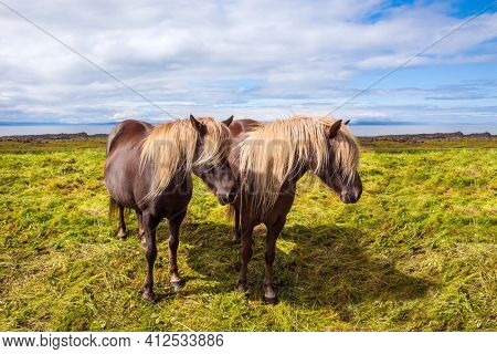 Two beautiful and kind horses of a unique Icelandic breed. Journey of dreams to Iceland. Golden summer sunset. Icelandic summer tundra. Ecological, active and photo tourism concept