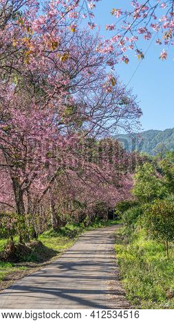 View Of Wild Himalayan Cherry Blossom In The Khun Wang Royal Project Development Center, Chiang Mai