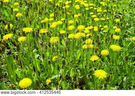 Yellow Dandelions Close Up In The Bright Spring Green Of A Meadow On A Sunny Day. Background