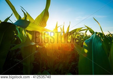 The agricultural land of a green corn farm with a blue sky. Location place of Ukrainian agricultural region, Europe. Corn grown in farmland and cultivated fields. Photo wallpaper. Beauty of earth.