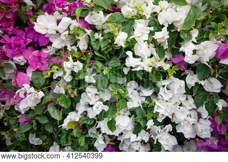 Close-up Of A Variegated Bush With White Leaves. Exotic Plants Of Egypt.