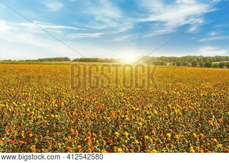Bright Field Of Blooming Wild Saffron Against The Blue Sky. American Saffron, Dye Thistle. Beautiful