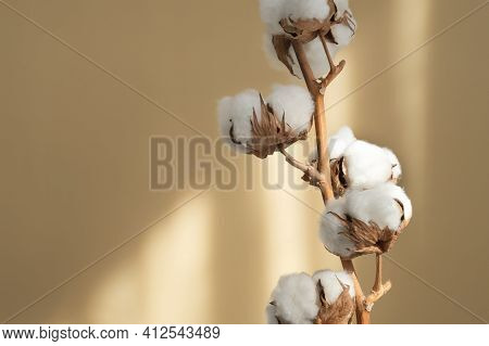 Branch White Cotton Flowers With Sun Glare On Beige Background Flat Lay. Delicate Light Beauty Cotto