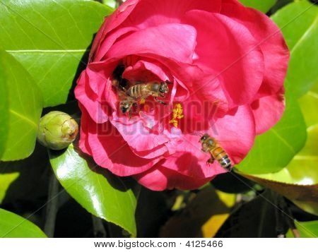 Honey Bees And Camellia