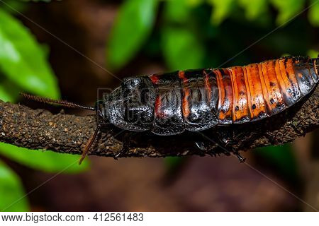 Madagascar Hissing Cockroach. Gromphadorhina Portentosa , Also Known As The Madagascar Giant Cockroa