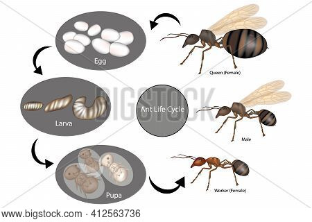 Ant Life Cycle. Stage Of Development Ant