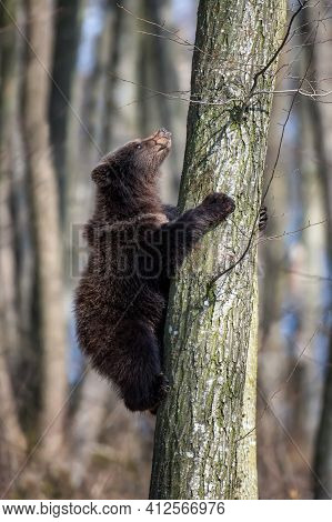 Brown Bear Cub On Tree In The Forest. Wildlife Scene From Spring Nature. Wild Animal In The Natural