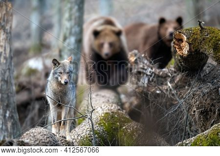Wolf On A Fallen Tree With Two Bears In The Background. Wildlife Scene From Spring Nature. Wild Anim