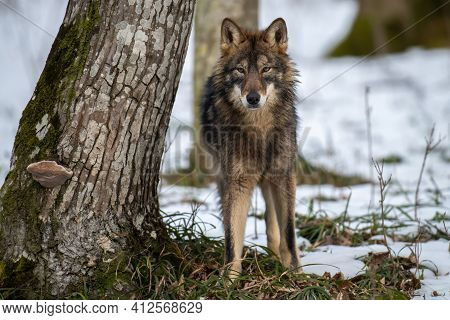 Wolf In The Forest Up Close. Wildlife Scene From Winter Nature. Wild Animal In The Natural Habitat