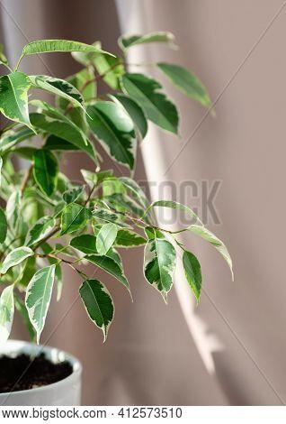 Indoor Plant Ficus Benjamin On A Beige Textile Background. Ficus In A White Ceramic Planter. Vertica
