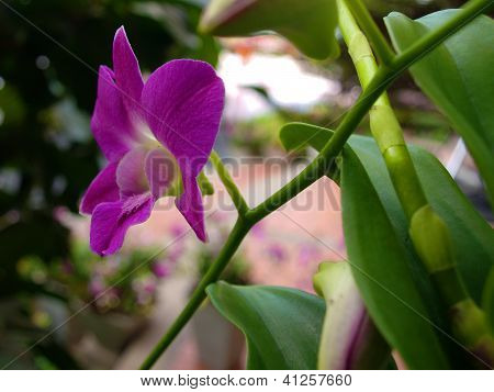 Purple Thai Orchid
