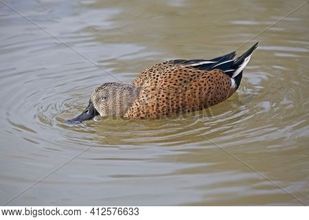 A Male Red Shoveler, Anas Platalea, Foraging On The Water