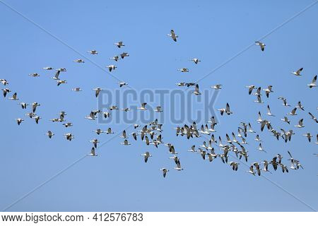 A Large Flock Of Snow Geese, Chen Caerulescens, Flying