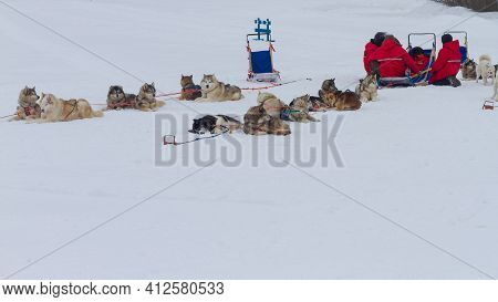 Husky Dogs Are Harnessed To A Sleigh And Rest Lying On The Snow After Riding In The Winter.