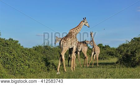 A Group Of Wild Giraffes Against The Blue Sky. Long Graceful Necks, Small Horns. Bushes And Green Gr