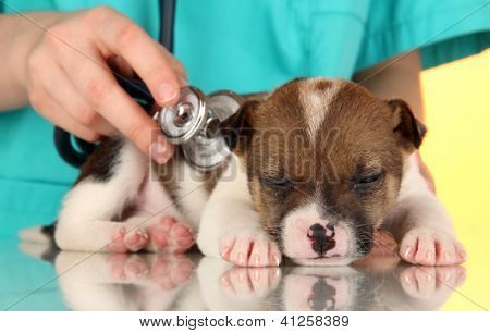 Beautiful little puppy on inspection by veterinarian on yellow background poster