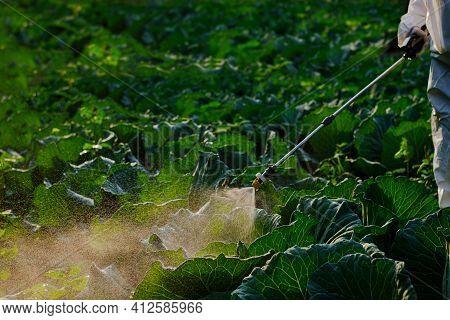 Gardener Hand In A Protective Suit Spray Fertilizer On Huge Cabbage Vegetable Plant