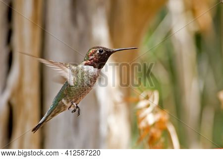 An Anna's Hummingbird, Calypte Anna, In Flight