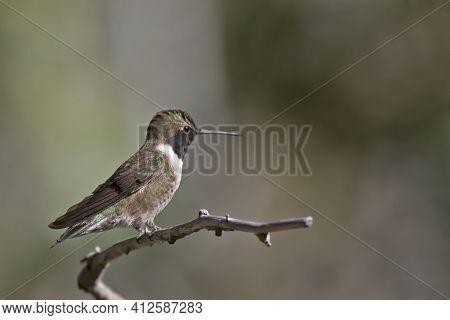 A Male Black-chinned Hummingbird, Archilochus Alexandri, On Perch