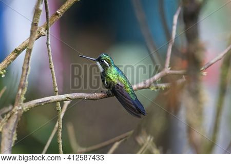 View Of A  White-throated Mountaingem, Lampornis Castaneoventris, Perched