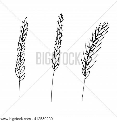 Wheat Plant Spikelets Vector Doodle Illustration Hand Drawing Sketch