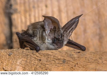 Grey Long-eared Bat (plecotus Austriacus) Is A Fairly Large European Bat. It Has Distinctive Ears, L