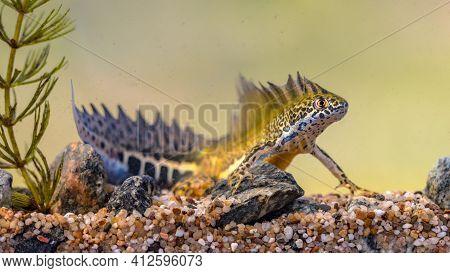 Southern Banded Newt (ommatotriton Vittatus) Male Aquatic Amphibian Swimming In Freshwater Habitat O