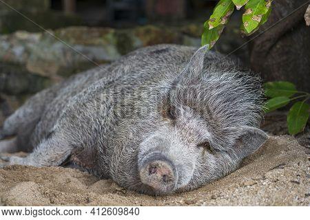 Big Pig Sleeping On The Sand Beach On Island Of Koh Phangan, Thailand