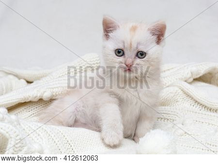 Small white british kitten playing with a white ball