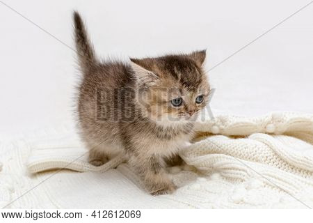 Small golden british kitten sits on a knitted blanket