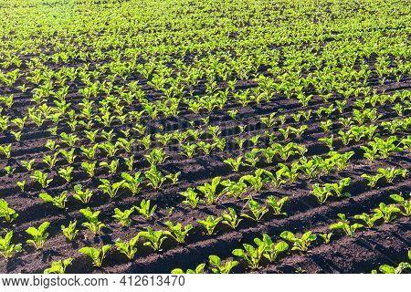 Sugar Beet Field. Sugar Beet Cultivation. Sugar Production.