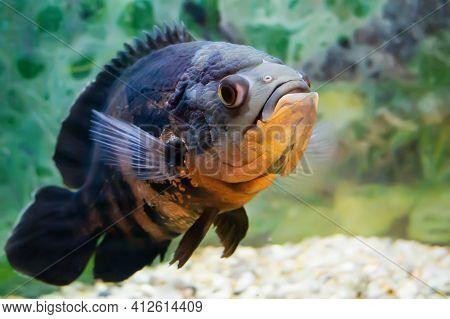 Aquarium Fish. Cichlid Astronotus, Or Oscar. Freshwater Fish. Astronotus Tigris. The Bright Oscar Fi