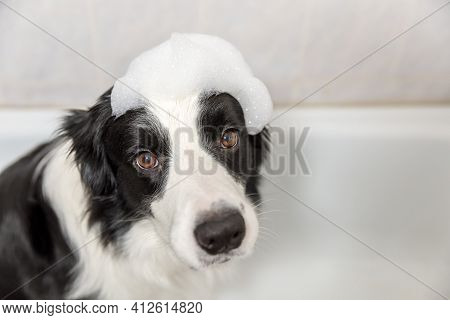 Funny Indoor Portrait Of Puppy Dog Border Collie Sitting In Bath Gets Bubble Bath Showering With Sha