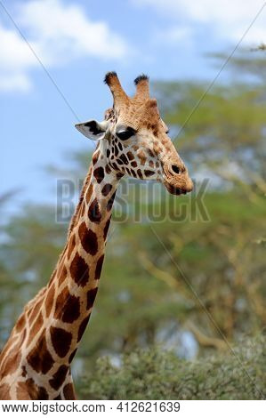 Giraffe In The Wild. Africa, Kenya, Forest
