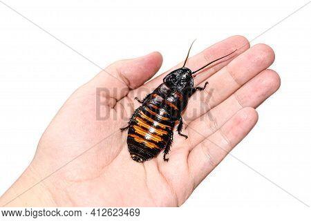 Madagascar Hissing Cockroach Crawls On Human Hand